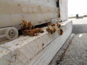 ミツバチ巣箱の入口