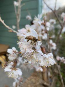 春のミツバチ